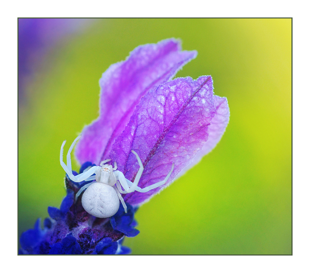 Crab Spider Close-Up Photography