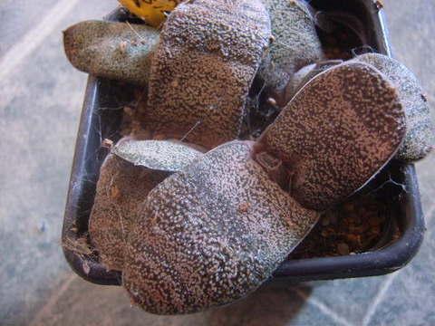 Gasteria batesiana 007 cactus