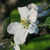 800px-Apple tree flower 200... - dansenijs