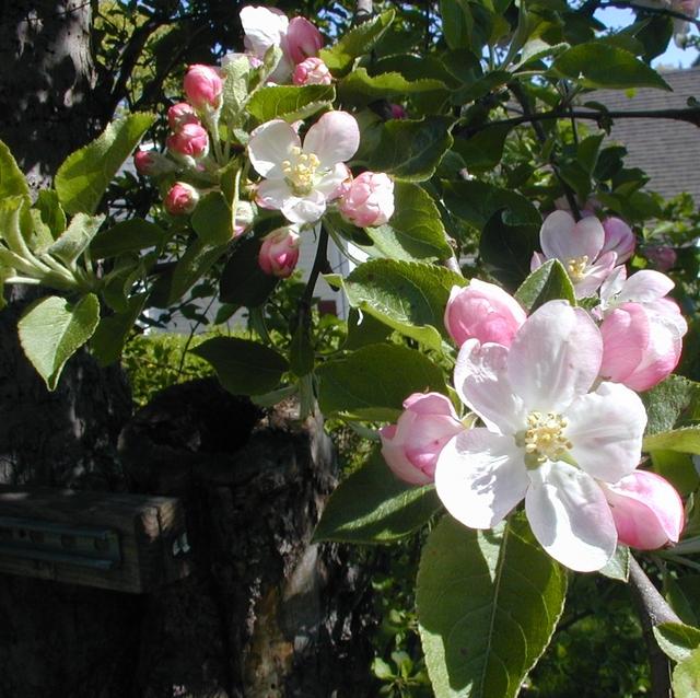 AppleBlossom3 dansenijs