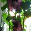 P1100615 - orchideëen