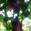 P1100621 - orchideëen