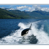 Orca British Columbia - Wildlife