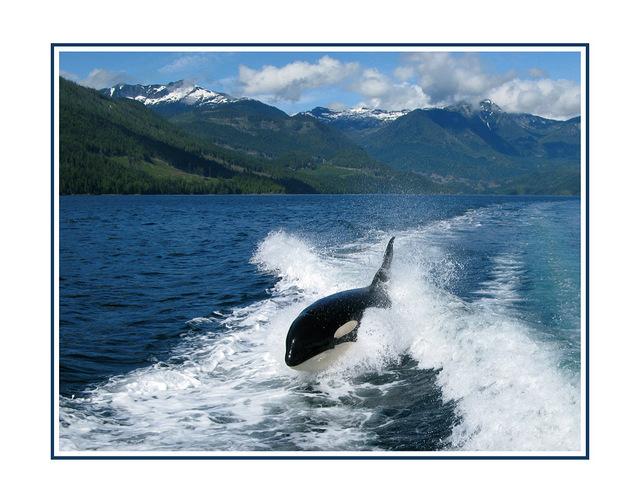 Orca British Columbia - Wildlife
