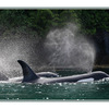 Orca Pod Spray - Wildlife