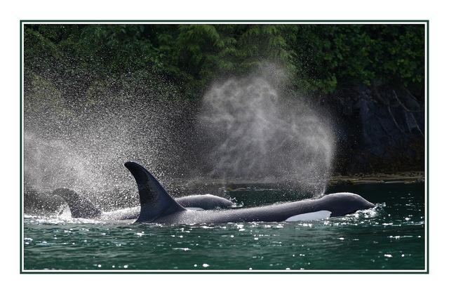 Orca Pod Spray Wildlife