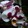 P1120377 - orchideëen